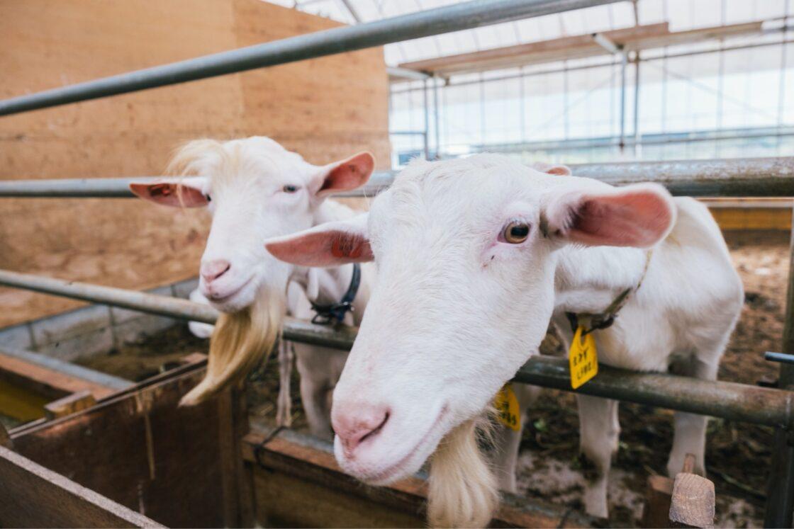 九州の牧場にいるやぎの中には、ここで生まれた子たちも多いんだそう