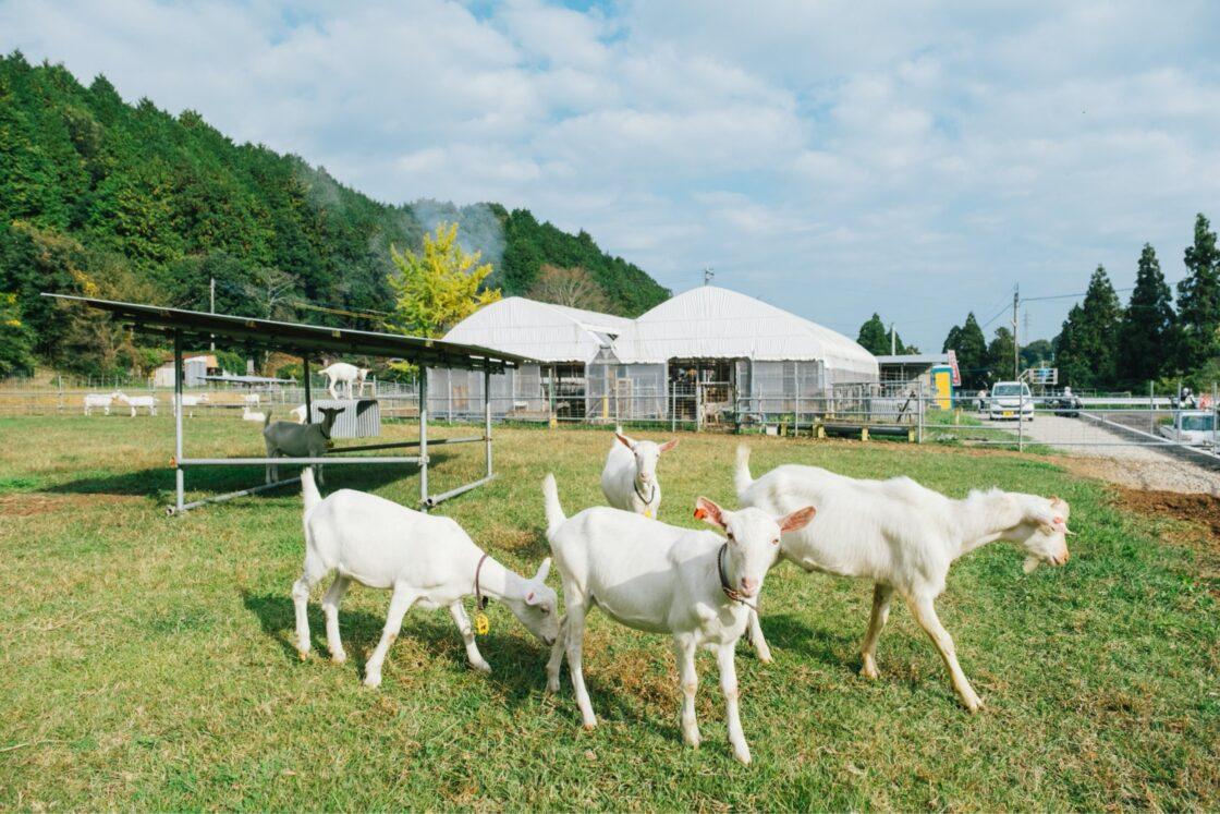 """木村山羊牧場で飼育しているのは、全て血統証付きの""""日本ザーネン"""""""