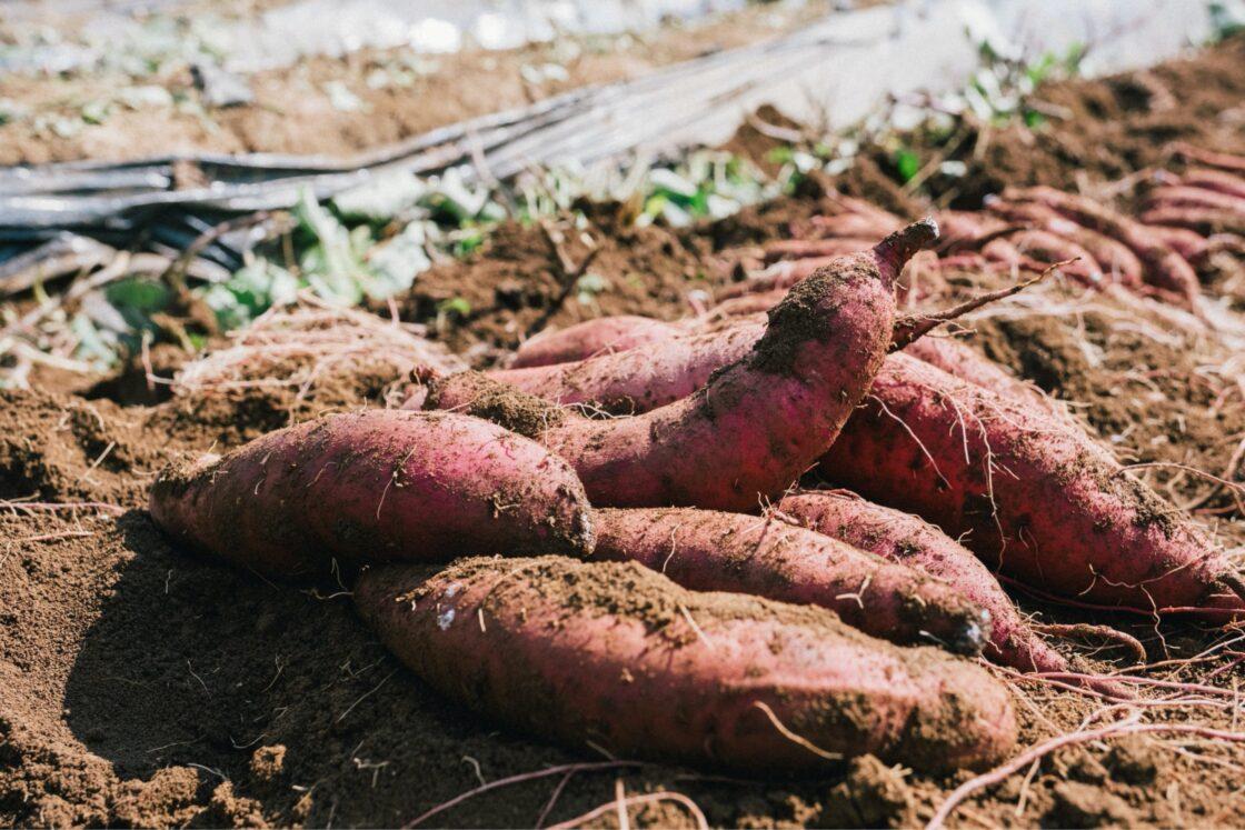 採れたてのサツマイモ