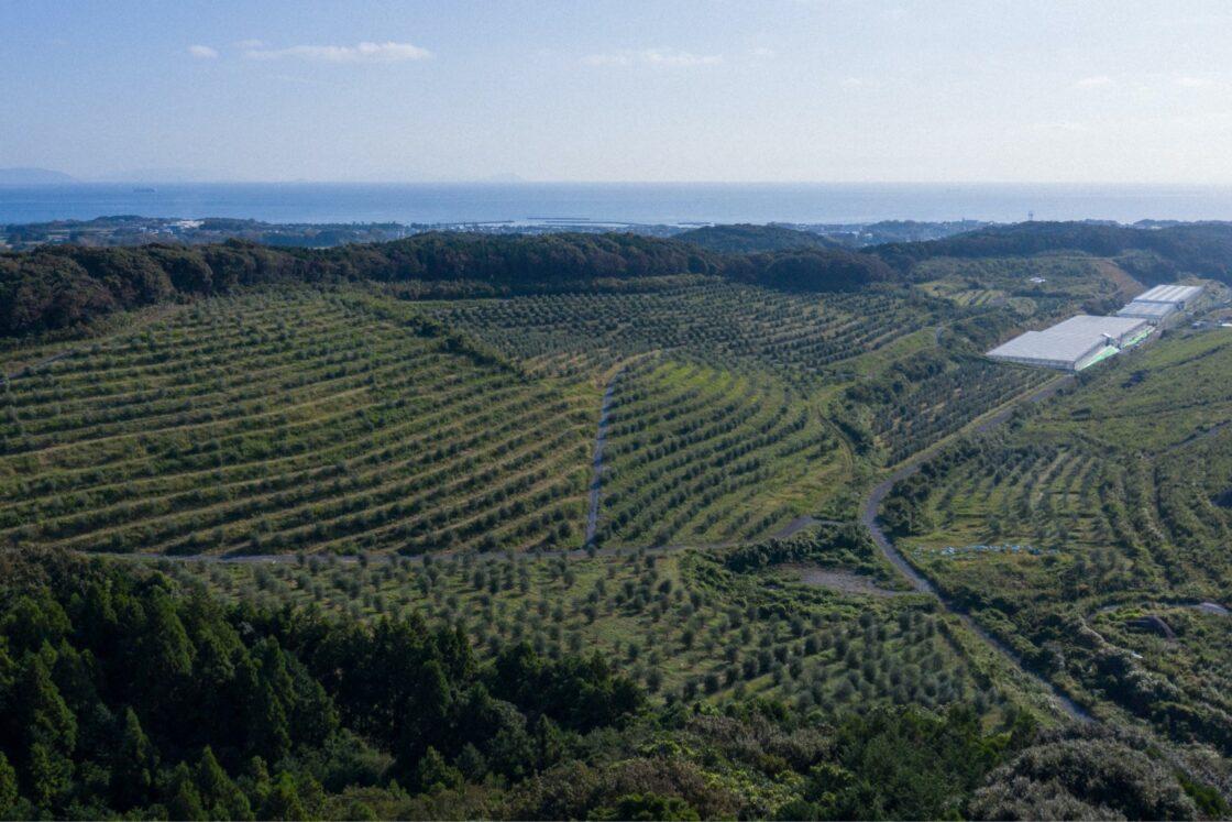 日本の風土に合うイタリア原産の品種を中心にオリーブの木を4,000本以上育てている
