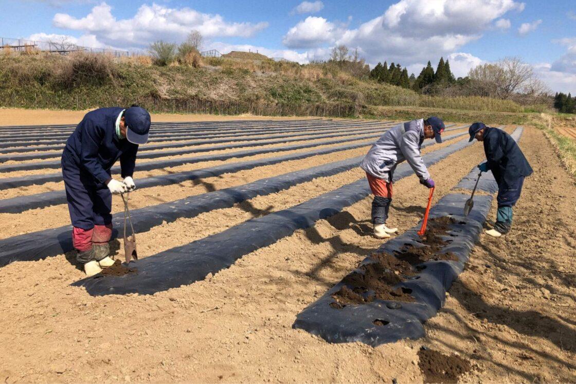 連作障害を防ぐため、植える畑を1年ごとに変えることで、収穫量の安定確保に成功した
