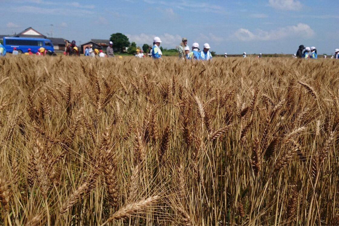 パンに向いている小麦の品種「ミナミノカオリ」