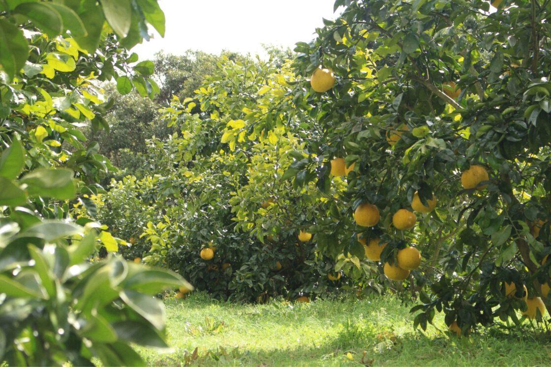 柑橘のまちとして知られる大分県津久見市に約1800本のざぼんの苗木を植樹