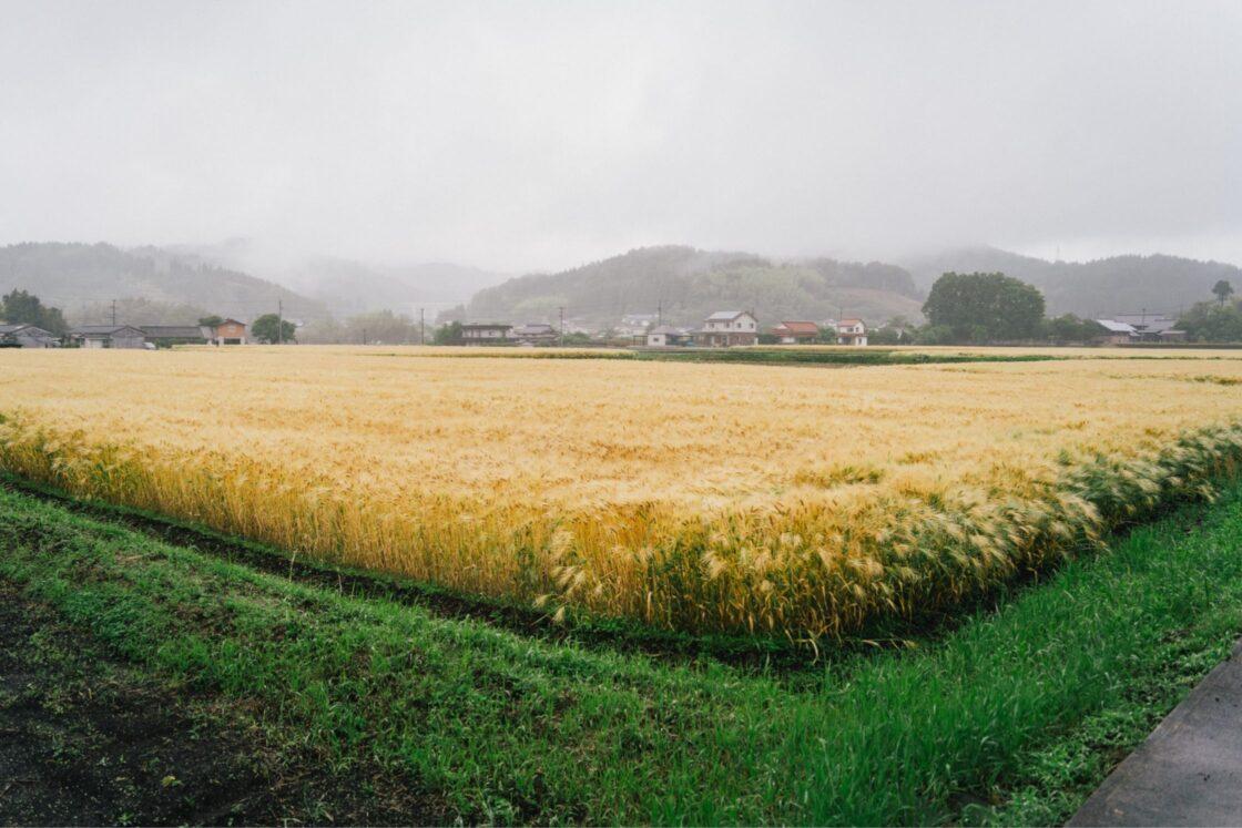 作付面積もトータル5町(約5ha)に増え、年間15tの大麦を収穫