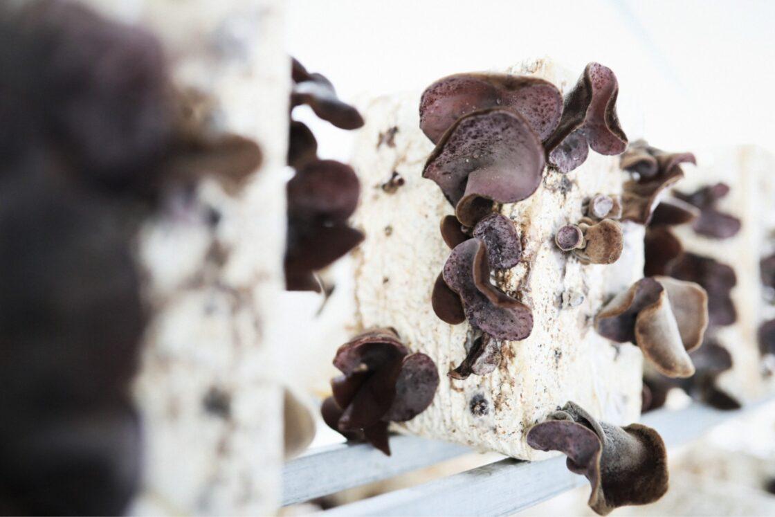 菌床の表面を覆っているビニールに、オリジナルで作成した専用工具を使っていくつかの穴を作り、そこから酸素に触れた菌がきくらげを開かせる