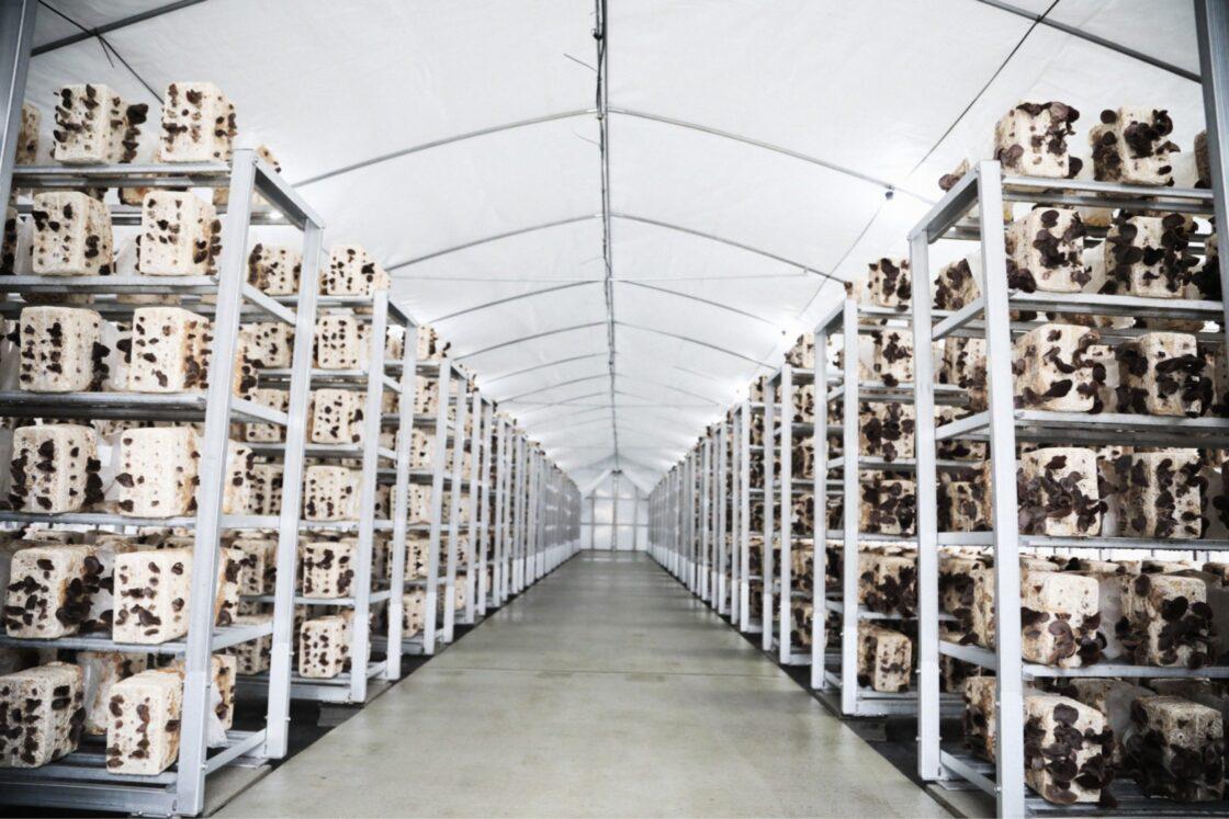 自社で3万菌床を栽培